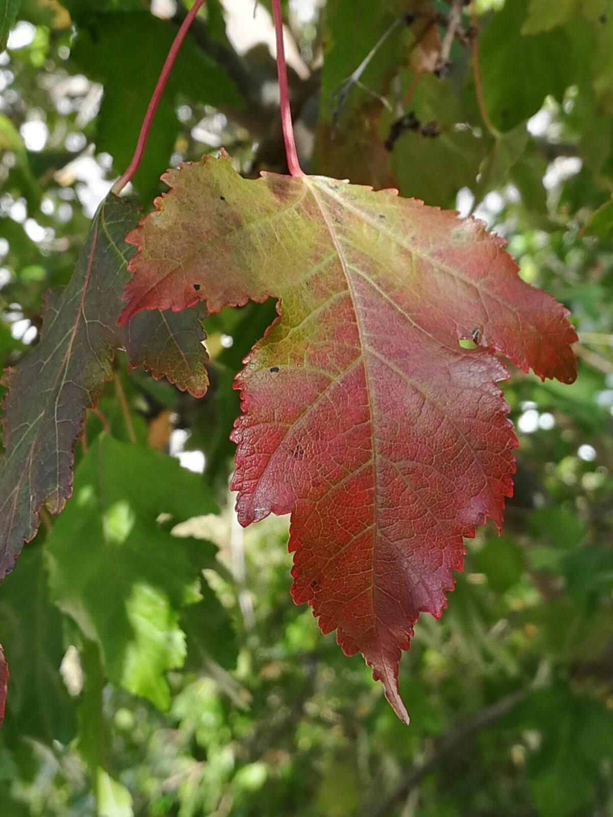 A reddish green maple leaf in close-up, with other, green leaves in the distance behind it. The leaf points downwards.